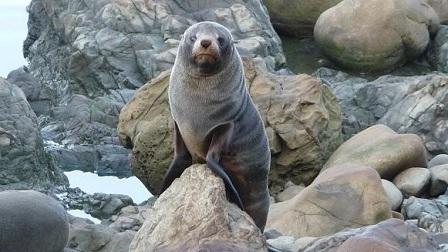 Zeeleeuwen spotten in Nieuw Zeeland
