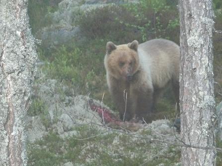 Beren spotten bij Ängra in Zweden