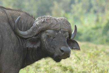Buffels in Afrika