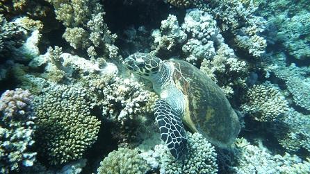 Duiken met zeeschildpadden