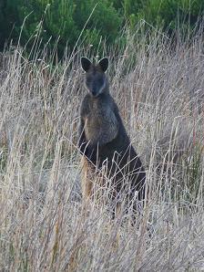 Kangoeroe spotten