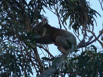 Koala spotten