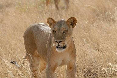 Leeuwen spotten in Afrika
