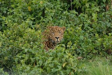 Luipaard spotten in Afrika