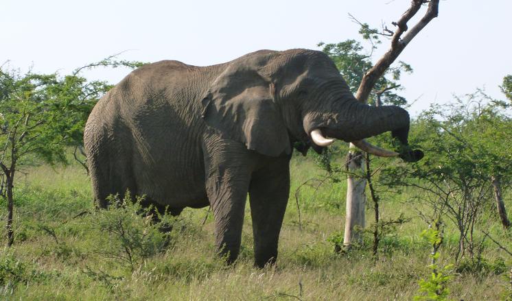 Olifant in Afrika