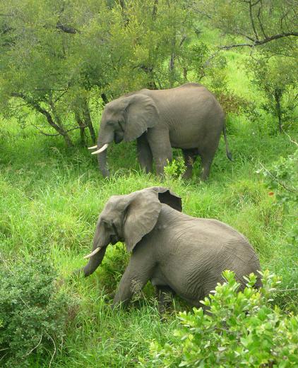 Olifanten spotten in Afrika