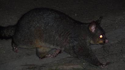 Possum spotten